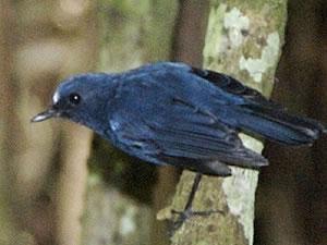 الروبن الهندي الازرق الطائر الصغير الروبن الهندي الازرق صور الروبن sunda-blue-robin.jpg