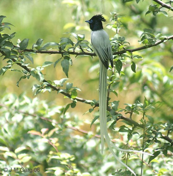 طائر الجنة السيلاني