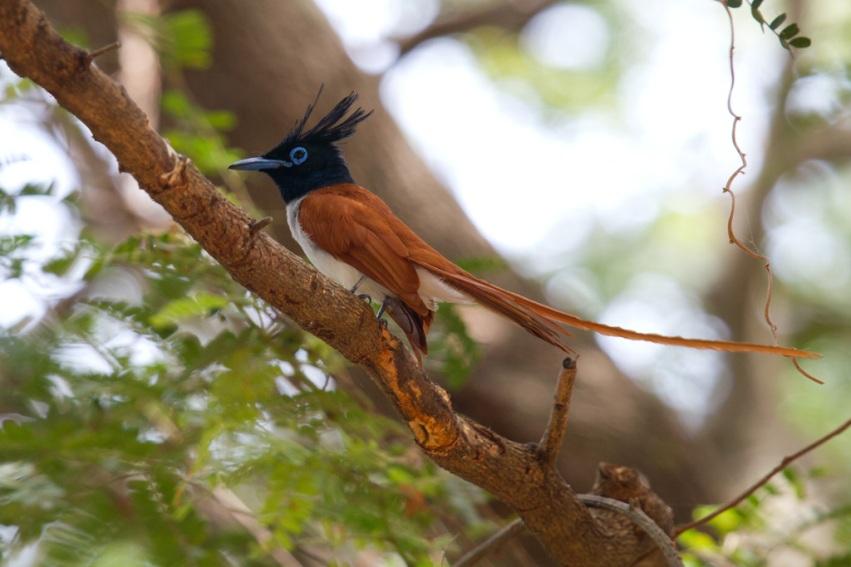 طيور الجنـــــــــة ceylonparadiseflycat