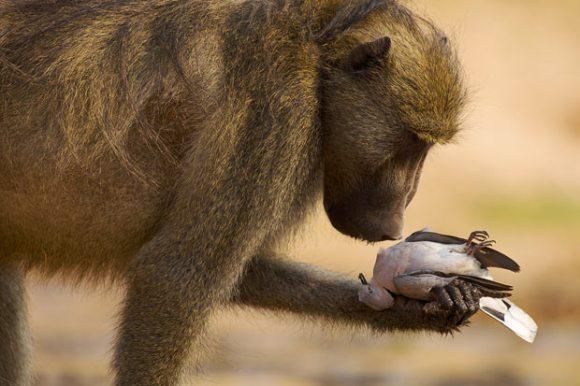 حديقة حيوانات المركز الدولى  - صفحة 4 Copy-of-baboon-dove_1729780i