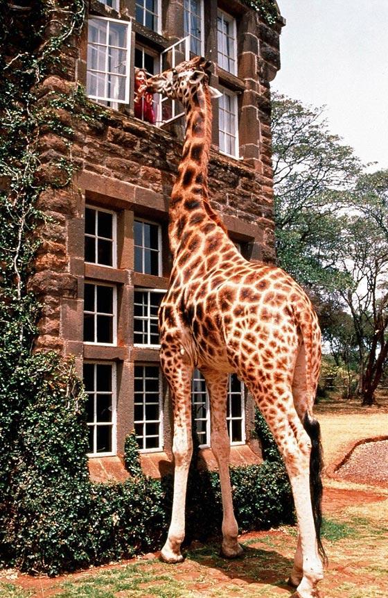 حديقة حيوانات المركز الدولى  - صفحة 4 Giraffe3