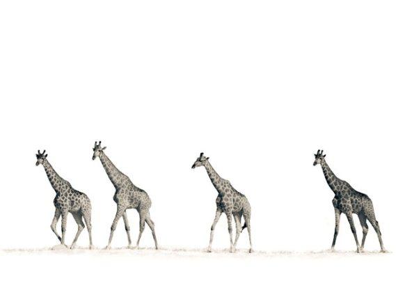��� ������� ���� ����� ����� ��� � ��� ���� ����� ��������� � ��� ���� ����� ��������� ���� giraffes.jpg?w=569&h=430
