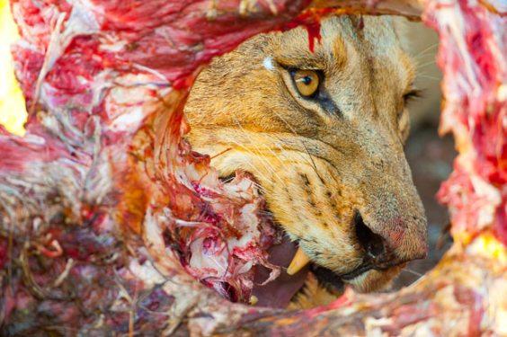 حديقة حيوانات المركز الدولى  - صفحة 4 Lion-carcass_1729783i