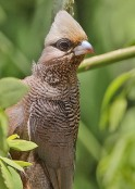 White-headed_Mousebird_SteveGarvie