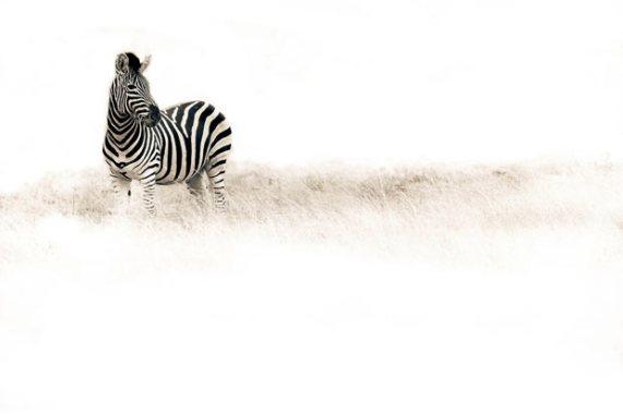 ��� ������� ���� ����� ����� ��� � ��� ���� ����� ��������� � ��� ���� ����� ��������� ���� zebra.jpg?w=571&h=381