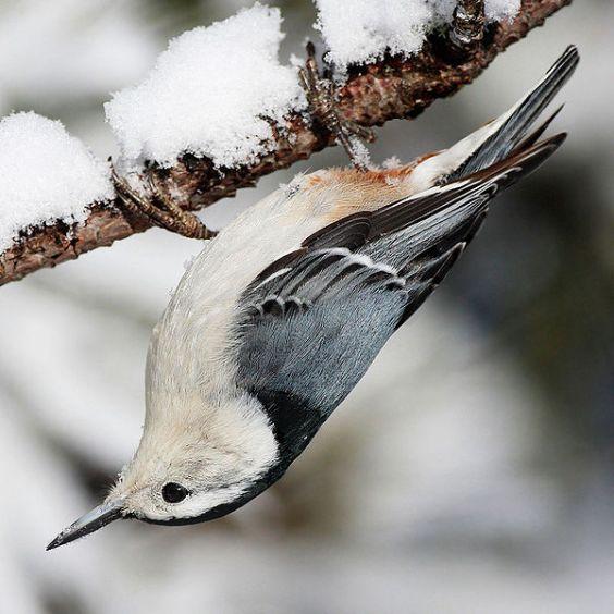 طائر المغرد أبيض الصدر
