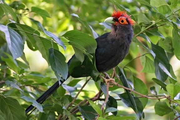 الوقواق المطوق red-crested-malkoha2