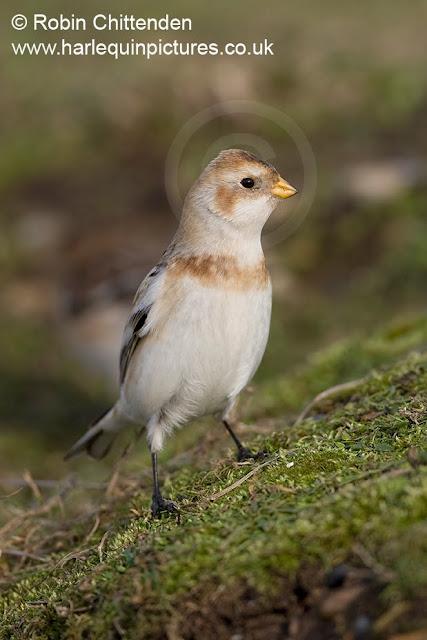 صور ومعلومات عن طائر رايات الثلوج  090-snow-bunting-plectrophenax-nivalis-norfolk-uk-february-2010-cp-pt-crs-130dpi1
