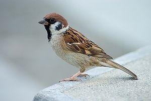 سبارو الشجرة 300px-tree_sparrow_japan_flip