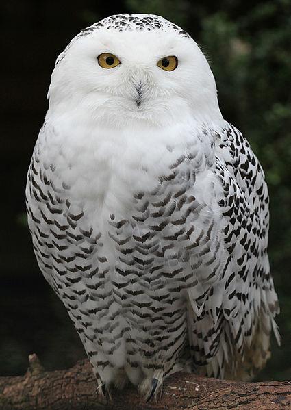 البوم الابيض 425px-snowy_owl_-_sc
