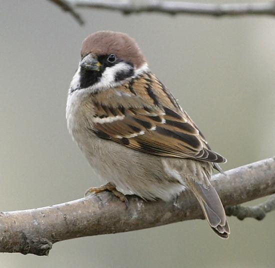سبارو الشجرة 550px-eurasian_tree_sparrow