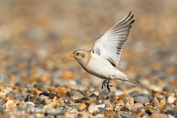 الثلوج وتقارير ومعلومات الطائر الجميل