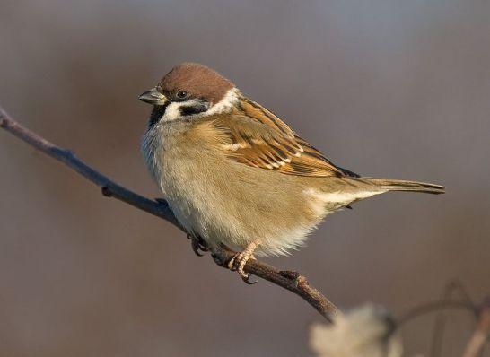 سبارو الشجرة 800px-tree-sparrow-2009-16-02