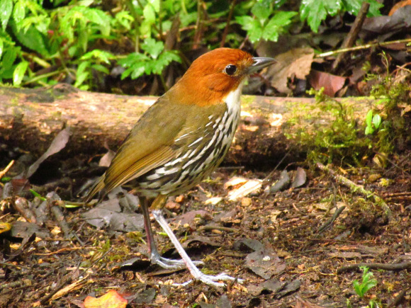 chestnut-crowned_antpitta_0