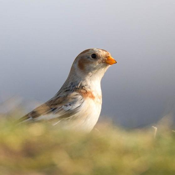 صور ومعلومات عن طائر رايات الثلوج  D8b1d8a7d98ad8a7d8aa-d8a7d984d8abd984d988d8ac