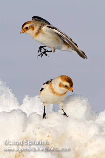 صور ومعلومات عن طائر رايات الثلوج  D8b1d8a7d98ad8a7d8aa-d8abd984d8acd98a-snow_bunting_mg_8740
