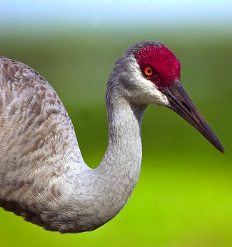 طائر التفلق sandhill-crane.jpg?w