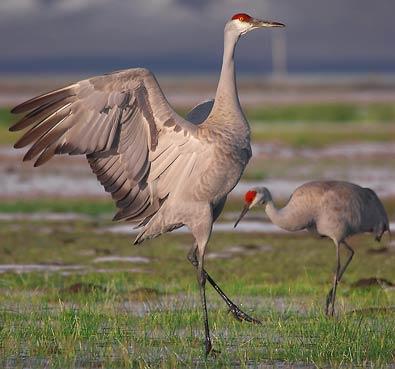 طائر التفلق sandhill-crane1.jpg?