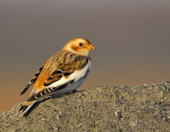 صور ومعلومات عن طائر رايات الثلوج  Snow-bunting-plectrophenax-nivalis-by-j-fenton