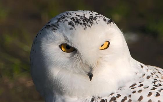 البوم الابيض snowy-owl-d8a7d984d8