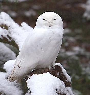 البوم الابيض snowy-owl.jpg?w=405&