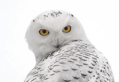 البوم الابيض snowy-owl1.jpg?w=562