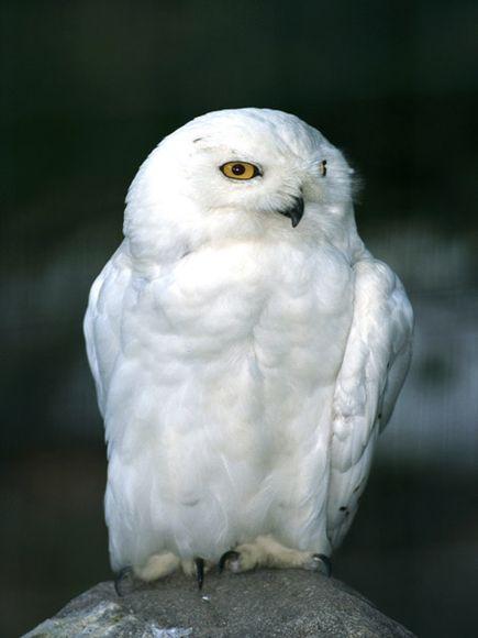 البوم الابيض snowy-owl_714_600x45