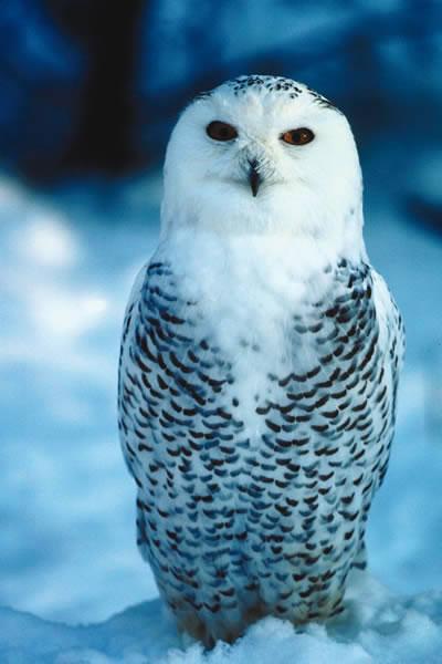 البوم الابيض snowy_owl.jpg?w=400&