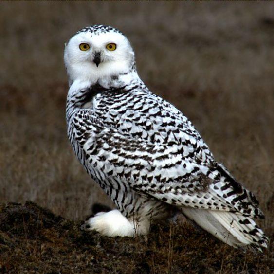 البوم الابيض snowy_owl_barrow_ala
