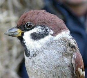 سبارو الشجرة Tree-sparrow-02