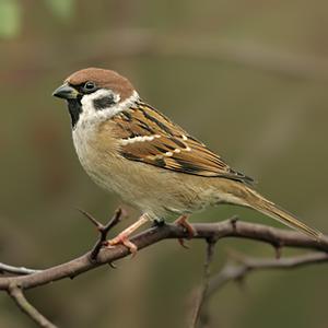 سبارو الشجرة Tree-sparrow