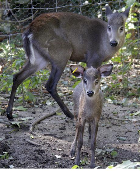 الأيّل المقنزع tufted-deer.jpg?w=56