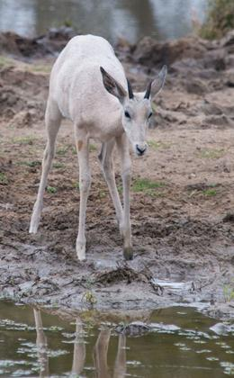 صور غزال الامبالا, معلومات عن غزال الامبالا