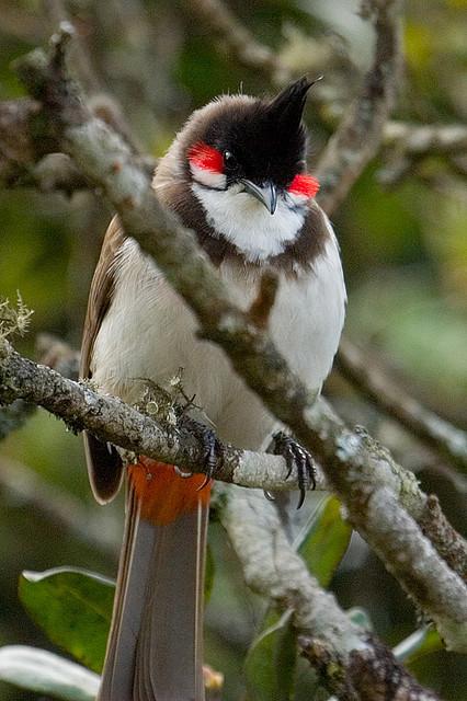 طائر احمر الخديين رااقبووه