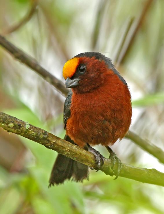 صور دياديما الطائر ذو الراس الاصفر - 137771689-ionux7pf-p