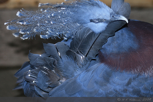 حمامة موريشيوس الأزرق 3595182049_aa58bc2e0