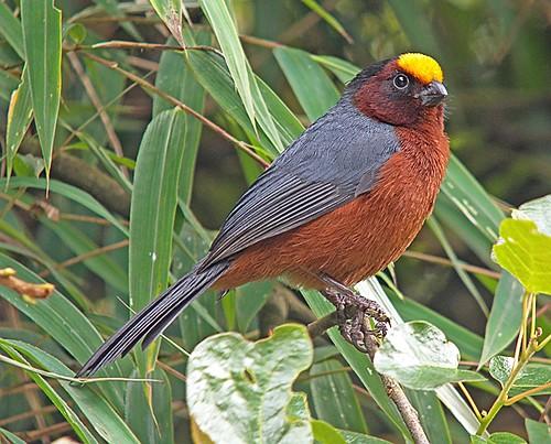 صور دياديما الطائر ذو الراس الاصفر - plushcap-pete-morris