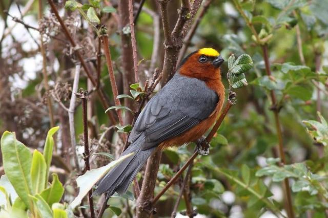 صور دياديما الطائر ذو الراس الاصفر - plushcap11.jpg?w=640