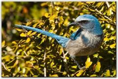 Florida Scrub Jay - Lyonia Preserve, Deltona
