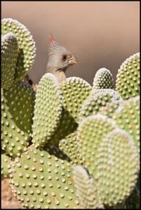 كاردينال الصحراء