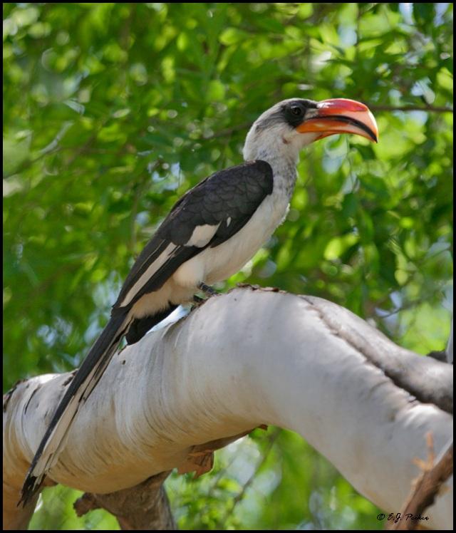 طير البوقير فوندير - معلومات عن طيور البوقير