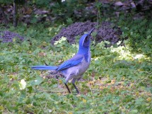 Western Scrub Jay at Ardenwood Farm