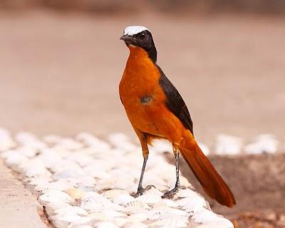 روبن ذو التاج الأبيض white-crownedrobin-c