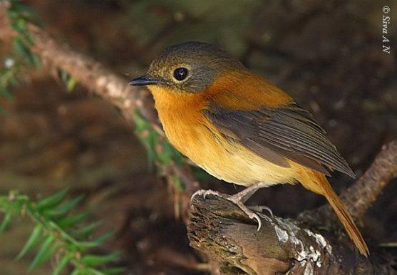 طائر الأسود والبرتقالي black__orange9_f_sk.