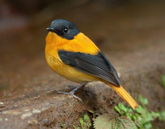 طائر الأسود والبرتقالي black__orange_flycat