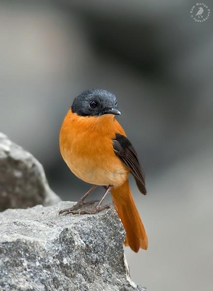 طائر الأسود والبرتقالي blackandorange3jpg_r