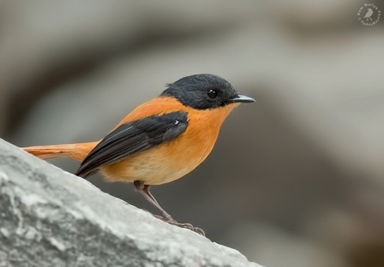طائر الأسود والبرتقالي blackandorangeflycat