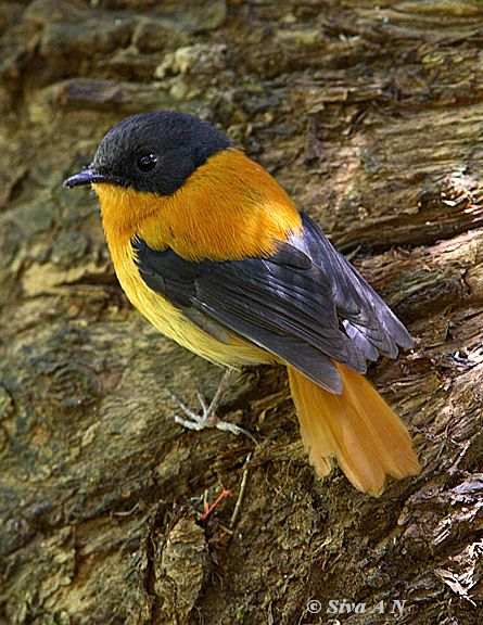 طائر الأسود والبرتقالي blackorange1_sk.jpg?