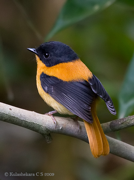 طائر الأسود والبرتقالي blackorange3.jpg?w=6