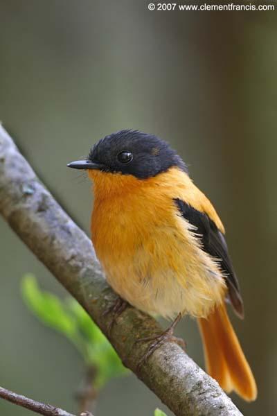 طائر الأسود والبرتقالي bofc2.jpg?w=640